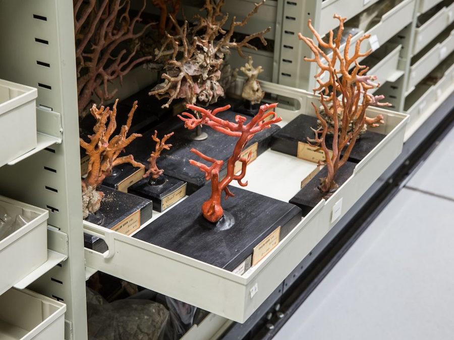 Corallium rubrum (Linnaeus, 1758), Spécimen collecté dans la mer Méditerranée et conservé à sec, Paris, Muséum national d'Histoire naturelle, Photo N. Savale