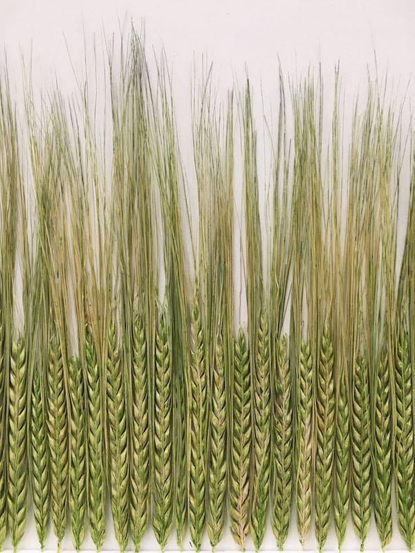 Cécile Hug, L'horizon 2019. blé teinté sur bois, 35 x 169 cm. Photo Clara Pagnussatt