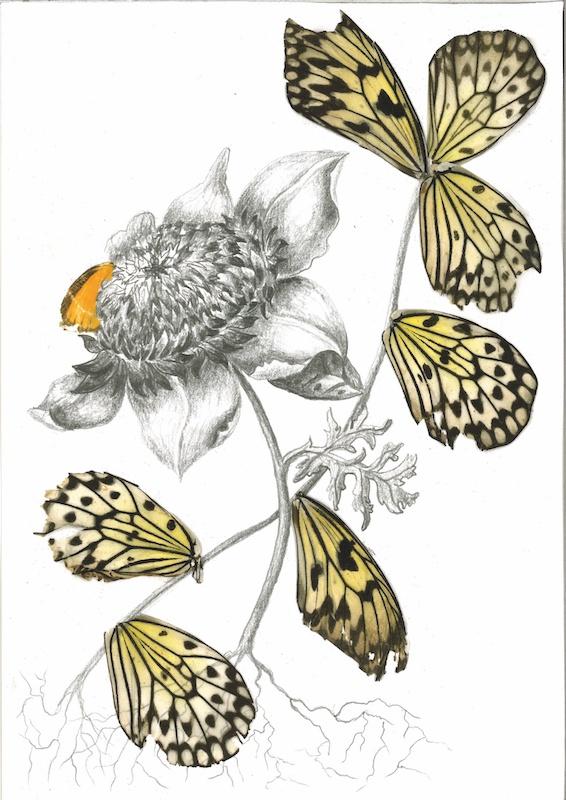 Rachel Marks, Hybrids, 2019. Crayon et ailes de papillon sur papier. Courtesy et photo artiste