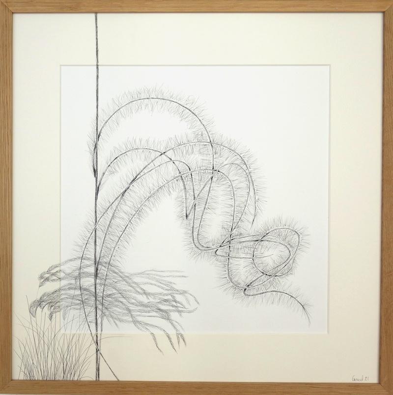 Ursula Caruel, Stipa pennata 42 x 42 cm / mine de plomb et encre