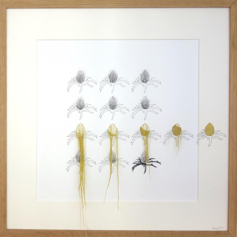 Ursula Caruel, Eryngium campestre 42 x 42 cm / mine de plomb, encre, dorure et fil